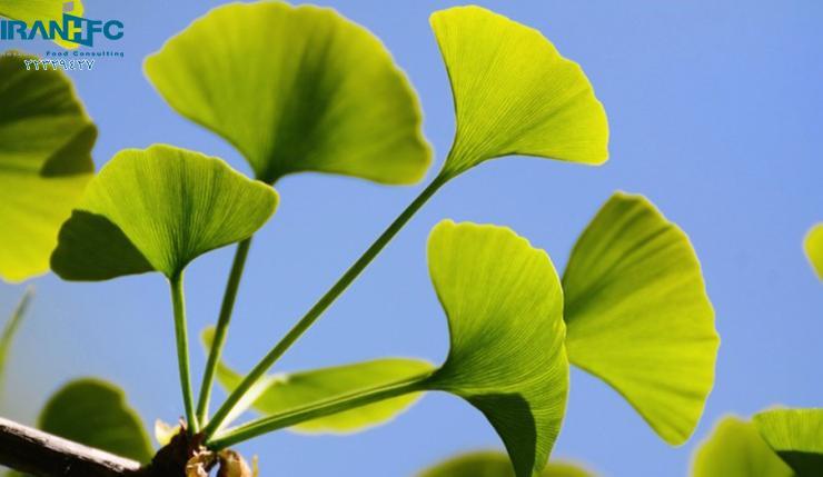 جینکوبیلوبا، قدیمی ترین گیاه جهان
